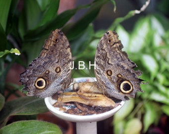 Butterflys Look a likes.