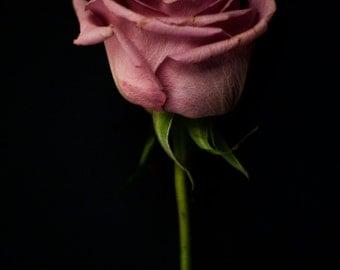 Limited print on plexiglass. Mauve rose with stem photo on black background.