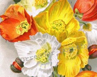Iceland Poppy Flowers Papaver Nudicaule 1922 Jazz Age Botanical Lithograph Print For Framing