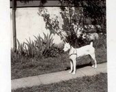 vintage photo White terrier dog Wearing Harness on Sidewalk Part Pit Bull