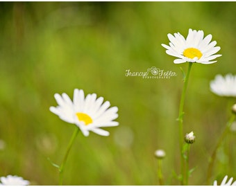 Spring White Daisies Flower Fine Art Canvas wrap- wild flowers