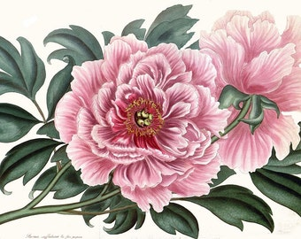 antique french botanical print double peony pink flower illustration digital download