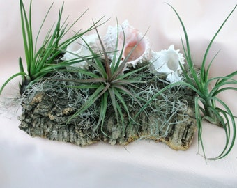 Bare root Airplants Selection
