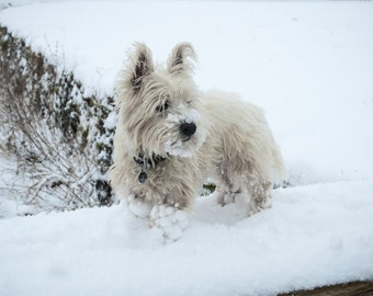 I am Crumpet 13 - Dog Photography - Westie - West Highland terrier - Wall Décor