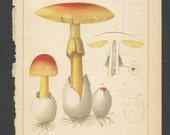 Edible Mushrooms 1892 Lithograph