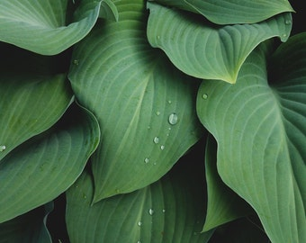 Abstract Leaves Photo, Green Wall Art, Hosta Photograph, Abstract Leaf Photo, Abstract Nature Print, Flower Photography, Flower Print