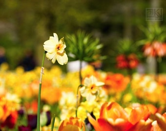 Daffodil art, Nature photography, Yellow tulip field, Flower print, Summer meadow print, Yellow and Orange, Keukenhof Holland,Bright yellow