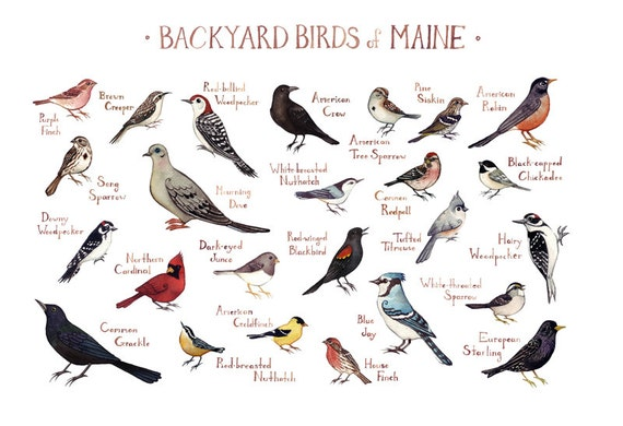 Maine Backyard Birds Field Guide Art Print / by KateDolamore