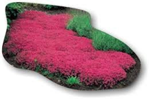 500 HEIRLOOM Creeping Thyme  thymus serpyllum seeds