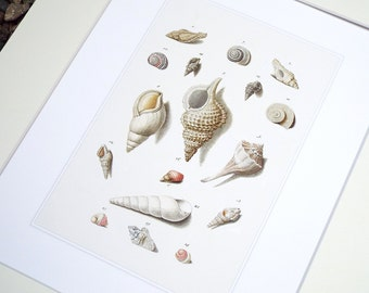 Sea Shell Collection 3 in Pale Pink, Taupe & Ivory Naturalist Study Archival Print on Watercolor Paper