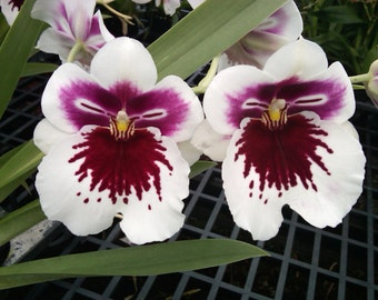Miltoniopsis White Truffle orchid blooming size