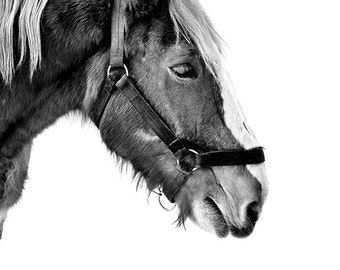 Clydesdale Belgian 13x19 Horse Fine Art Photography Wall Art Home Decor Horse Big Black and White Sharp Crisp Halter Budweiser Large Calm