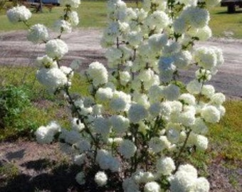 Chinese Snowball Bush Plant (viburnum macrocephalum) Quart Size