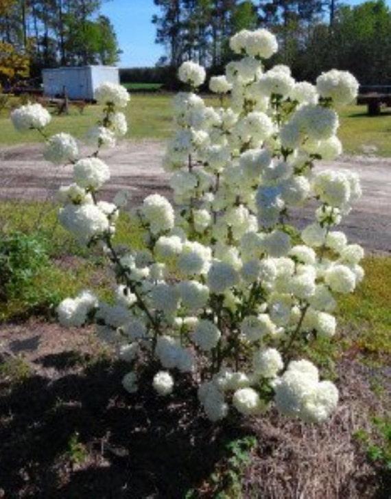 Chinese Snowball Bush Plant Viburnum Macrocephalum Quart