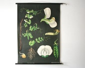 Vintage. Pull down chart. Jung Koch Quentell. Botanical. School. Science. Poster. Mid Century German DDR.  Educational. Canvas. Pea (501)
