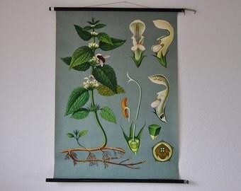 Original Mid Century Botany Print. White Nettle (Lamium album). Pull Down Wall Map. Jung Koch Quentell. Germany. Chart. School.