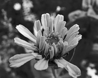 Black and White Yellow Zinnia Bloom Flower Photography 5x7 8x10 11x14 prints, Greeting Card