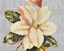 Magnolias Vintage Botanical Drawing, Beautifully detailed PNG download transparent aka no background
