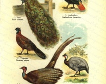 Original Antique Natural History Print of Birds - Les Osieaux - From The World Of Natural History - Male peacocks  - Female peacocks
