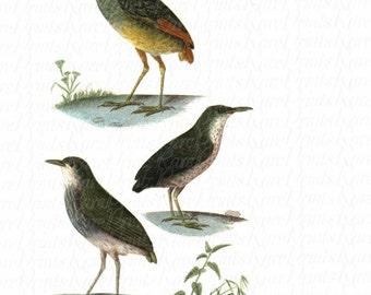 Rare Original Antique Hand Colored Engraving From Dictionnaire Histoire Naturelle des Oiseaux 1809