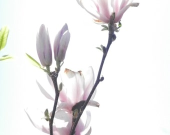 Photography, digital download, magnolia blossom in the sunlight, 3.16 MP(3000 x 4000Pixel)