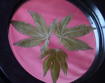 Hand Made Preserved Pot Leaf wall decor