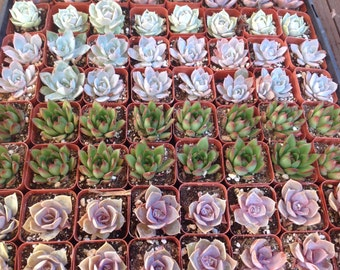 Succulent spectacular, 75 beautiful 2 inch succulents. These are the perfect size for wedding favors, bridal favors or baby shower favors.
