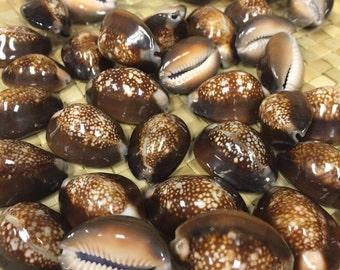 Snake Head Cowry Shell  Lot of - 25, 50, 100