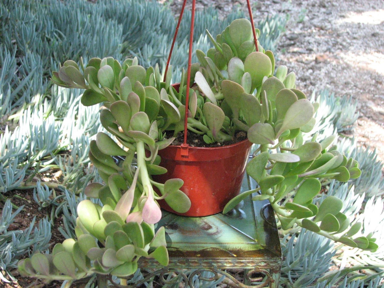 Crassula Plana Hanging Succulent Plant