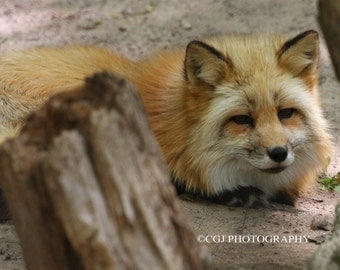Nature Photography, Fox Photography, Animal Photography, Photography Wall Art, home decor, wildlife