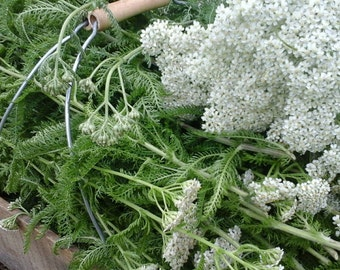Organic Yarrow. Achillea millefolium. First Aid Kit Herb. Flower. Leaf. Kosher. Non-irradiated. Dried. Non-GMO Herbs.  Choose Your Amount..