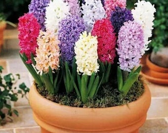 Flower Seeds - HYACINTH