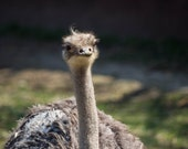 Ostrich Photo with option of either print, canvas wrap, or metal print. Multiple sizes available