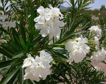 50 Nerium Oleander Seeds, Mixed Colors, Pink, Red, White Buy 1 Get 1 FREE