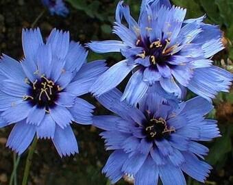 Cupids Dart Blue Flower Seeds (Catananche Caerulea) 30+Seeds