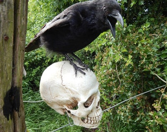 taxidermy Crow fixed to nice life size replica skull 1.1 ratio / 10 days to ship/send