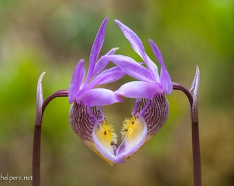 Fairy Slippers in the shape of a heart, Calypso Orchid, Montana Forest Flower, Greeting Card or Art Photographic Print