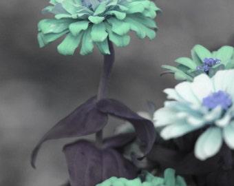 turquoise zinnia photo, zinnia print,  blue grey decor, turquoise flower photo, turquoise floral print, flower photo, floral photo