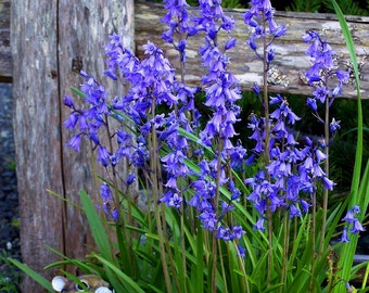 English Bluebells, Very Hardy Spring Perennial Flower, 18 Bulbs
