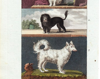 1804 Antique DOG print. Bichon, lion dog, and wolfhound, Fine hand colored engraving. Original antique