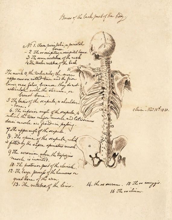 Skelett Anatomie Skizze Diagramm Jahrgang Reproduktion Print.