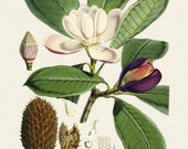 Magnolia Taluma Hodgsoni Botanical No. 10 - Giclee Canvas Art Print - Botanical Print - Wall Decor - Multiple Sizes Starting at USD 15.00+