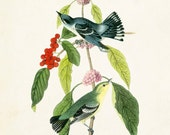 Vintage Audubon Cerulean Warbler Giclee Canvas Art Print - Print Poster - Bird Print - Natural History Art Print Wall Hanging - Home Decor