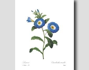Flower Art Print (English Garden Nursery, Flower Wall Decor) Morning Glory by Redoute No. 74