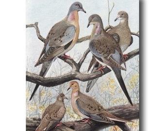 "Pigeon Art, Bird Print (Vintage Bird Illustration Wall Art, Antique Bird Decor Gift) --- ""Passenger Pigeons & Mourning Doves"" No. 36"