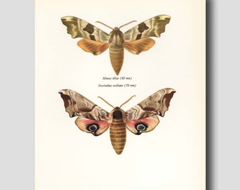 """Camoflauge Moth Print, Scientific Illustration, Vintage Butterfly Art 1960s Pink and Green Wall Decor """"Lime Hawk Moth"""" No. 124-2"""