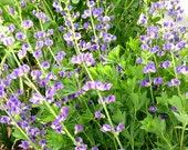 Baptisia australis Seeds, Blue False Indigo Seed, Native Plants, Perennial Baptisia, Great for Pollinator Gardens