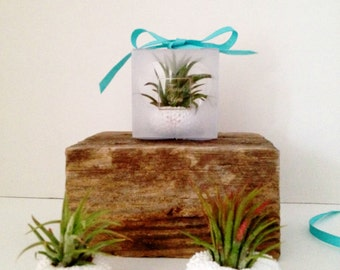 Set of 25 sea urchin air plants favors beach wedding favors  -beach party-shower-engagement- destination wedding