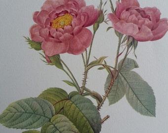 Vintage Peach Pink Rose Botanical Print by Pierre Joseph Redoute