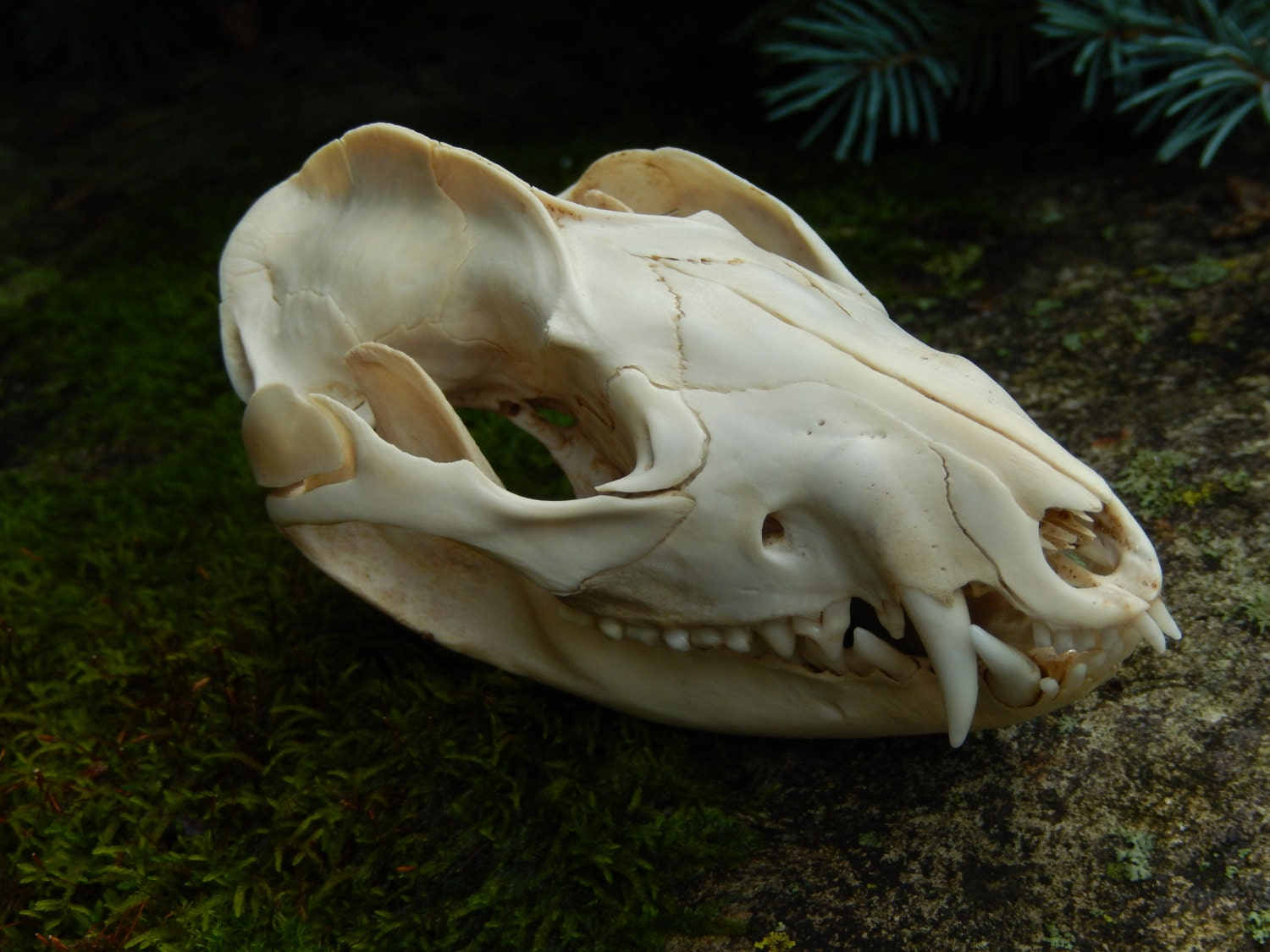 Subadult Opossum Skull Salvaged Natural Bone